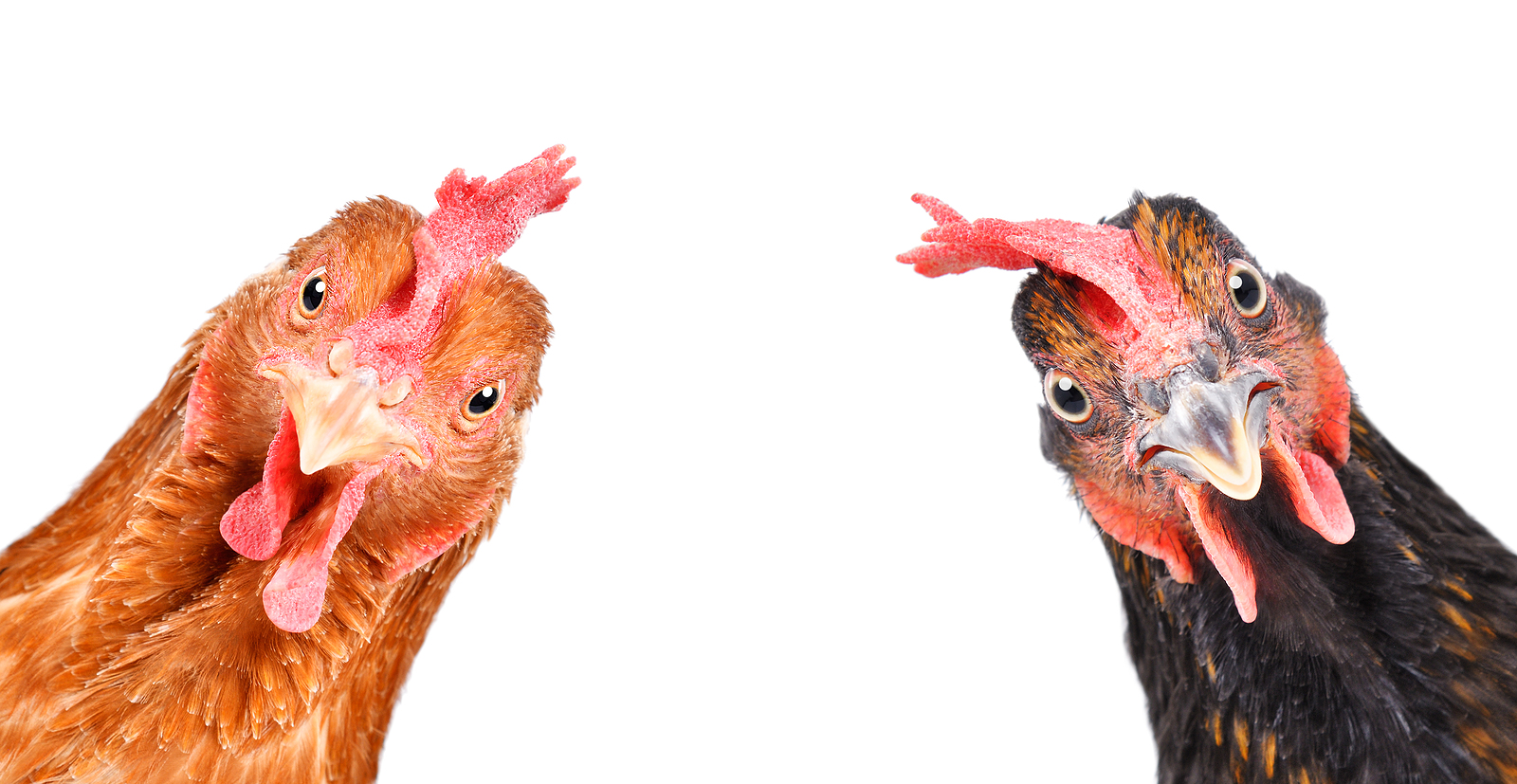 Portrait of chickens on a white background.